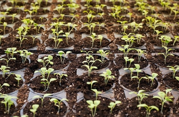 18 seedlings of plant growing for dwc hydroponic system
