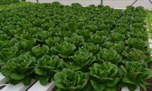 salanova butterhead salad hydroponic system