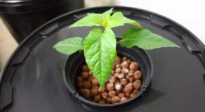 dwc hydroponic system healthy plant