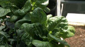 grow bags Leafy Greens outdoor indoor garden 4