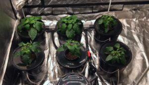 inside grow tent hydroponic dwc 5 gallon bucket system