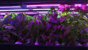 hydroponics light grow all year long