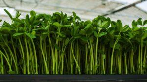 hydroponics microgreens professional cultivation