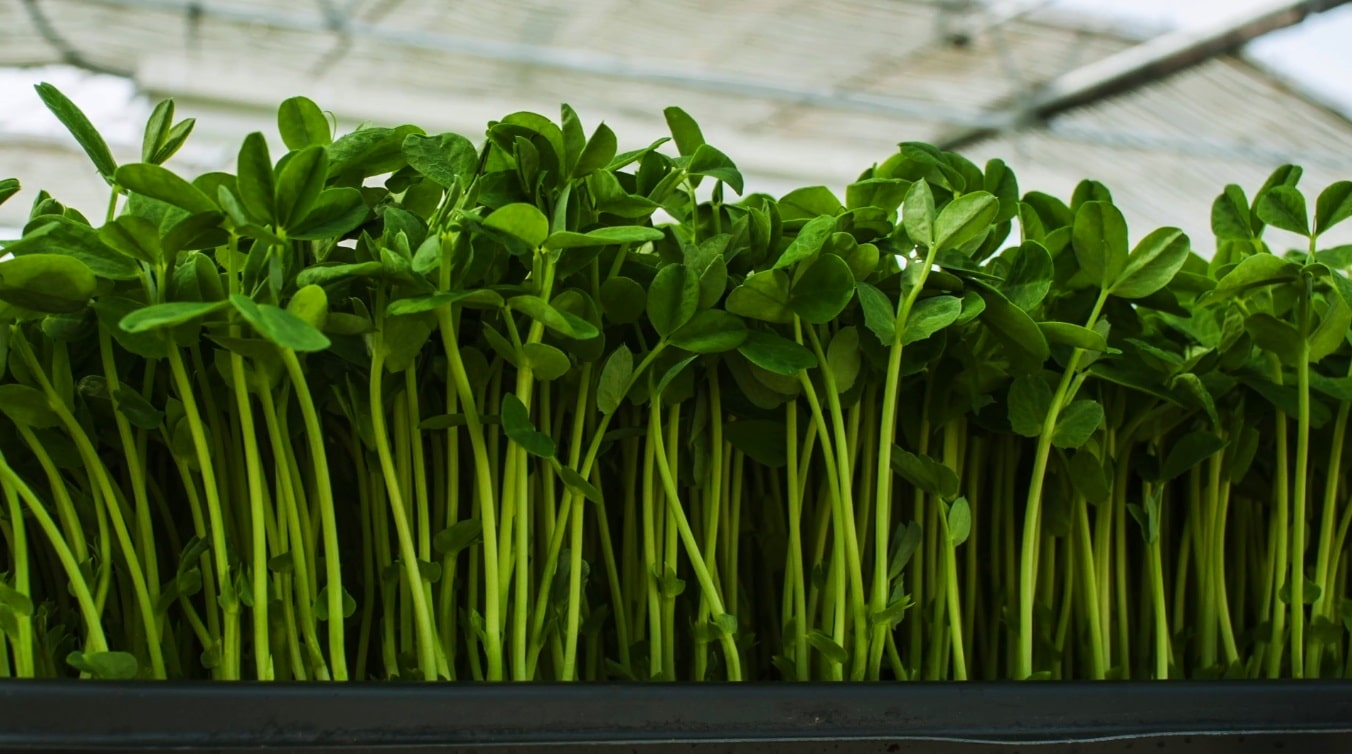 hydroponics microgreens professional cultivation growing from seeds