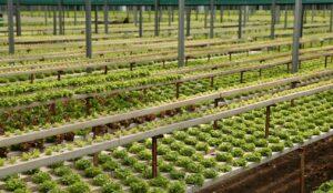 hydroponics professional growing on a huge farm