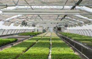 hydroponics professional growing on farm