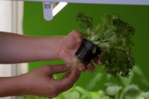 plant roots in a grow basket from a hydroponics system