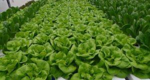 butterhead salad hydroponic system
