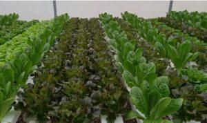 oakleaf salad hydroponic system