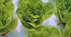 grow tent hydroponic salad