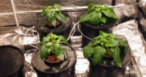 hydroponics dwc system 4 plants basket with clay pebbles