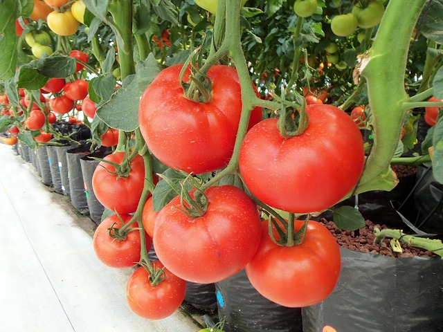 hydroponics grow tomatoes in fabric grow bags