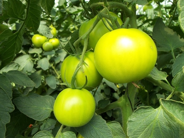 green hydroponic tomatoes on a branch