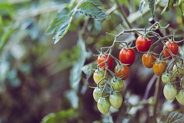 Green and red hydroponic cherry tomatoes on a branch