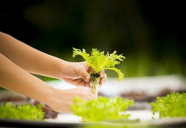 Growing Hydroponic salad with roots in ebb and flow system