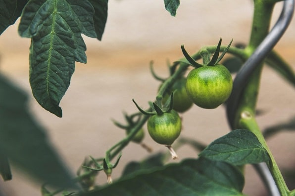 Hydroponic System for Vegetables gowing tomatoes