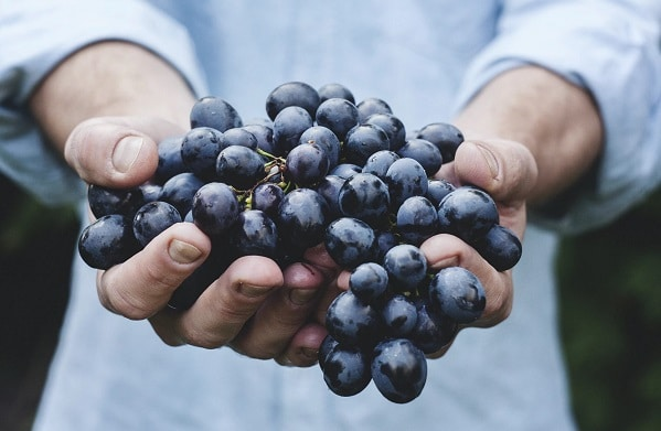 Hydroponic grapes in the hands