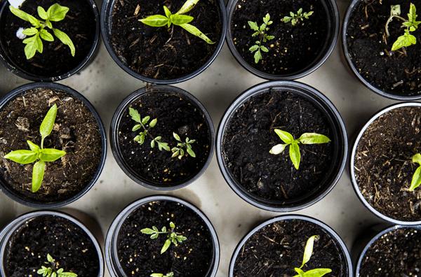 indoor vegetable garden germination seeds 1