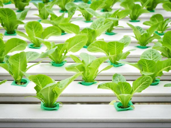 indoor vegetable garden growing hydroponics salad 2