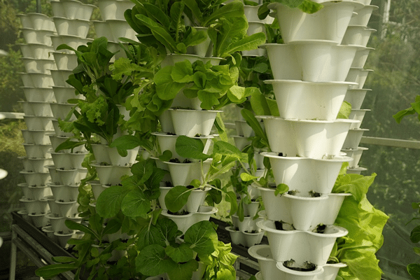 Indoor Tower Garden with leafy greens and herbs