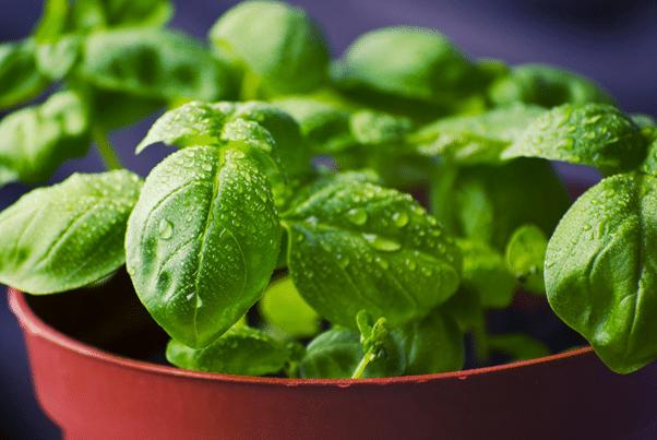 grew Indoor herbs example