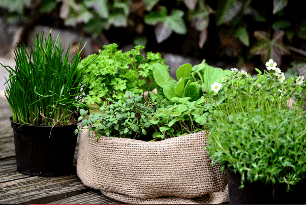 grow indoors herbs at home three types example