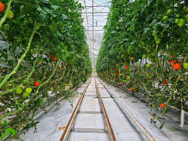 farm Hydroponics system with growing Tomatoes